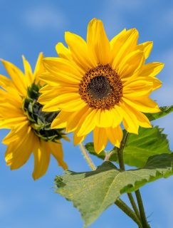 sunflower-4298808_1920